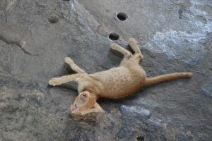 Kätzchen in Angkor Wat