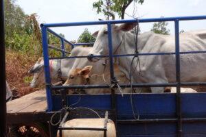 Fünf Kühe auf einem Tuktuk